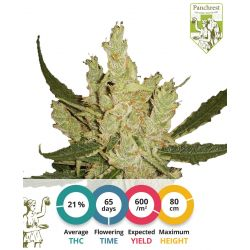 Amnesia Feminized seeds