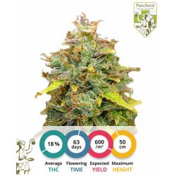 Sweet Tooth Seeds Automatic