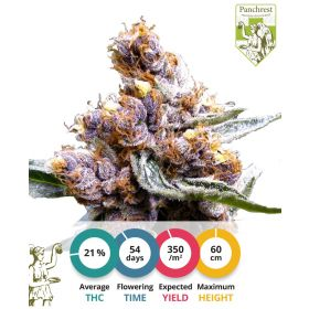 Blueberry Cannabis Seeds Feminized
