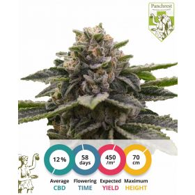 CBD Girl Scout Cookies Seeds