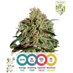 Amnesia Haze Seeds Feminized