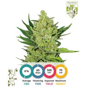 CBD Cheese Seeds